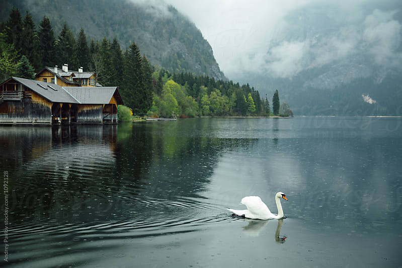 Beautiful swan swimming on mountain lake by Andrey Pavlov for Stocksy United