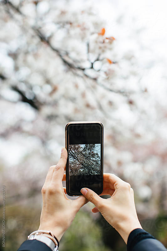 Hands of a woman taking a photo with phone of the cherry blossom in Japan. by BONNINSTUDIO for Stocksy United