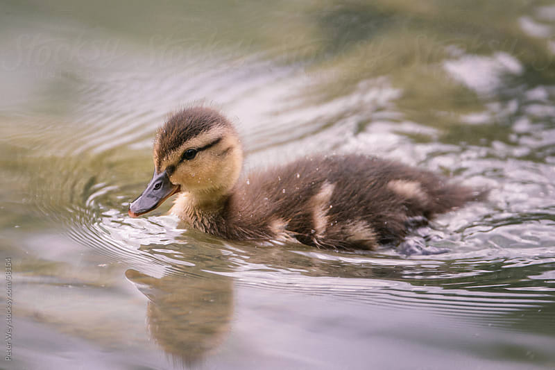 young duckling by Peter Wey for Stocksy United