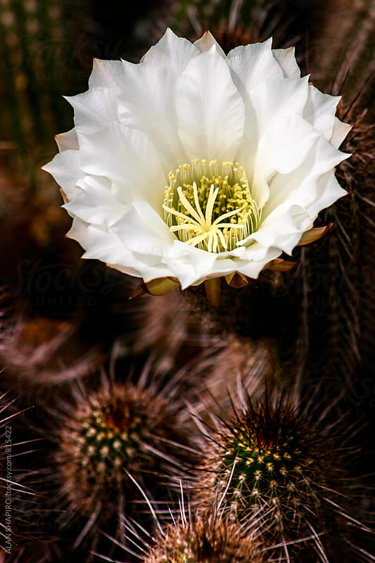 Echinopsis Cactus flower by alan shapiro for Stocksy United