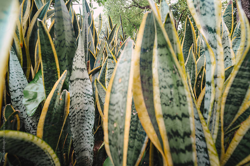 Snake plants leaf by Pansfun Images for Stocksy United