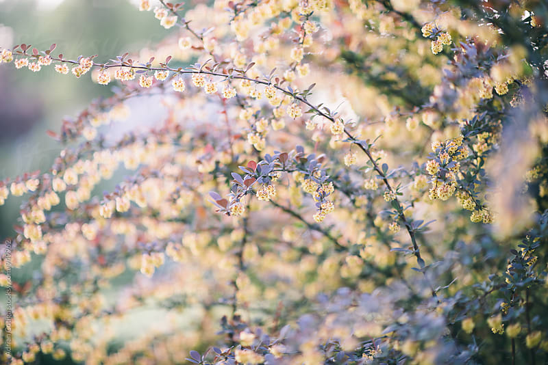 Tree in bloom on a sunny day in spring by Adrian Cotiga for Stocksy United