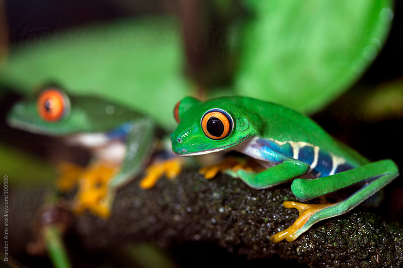 Pair of Red Eyed Tree Frogs by Brandon Alms for Stocksy United