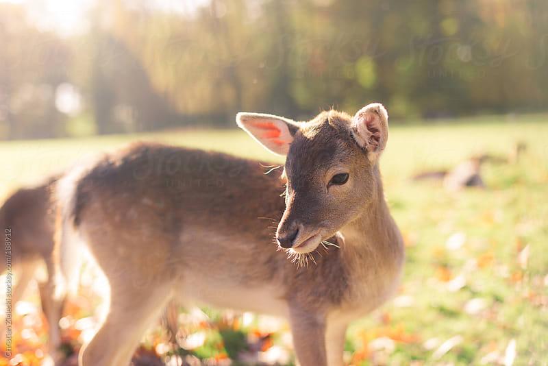 roe deer in sunlight by Christian Zielecki for Stocksy United