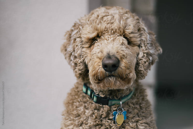 labradoodle stare down by Tara Romasanta for Stocksy United
