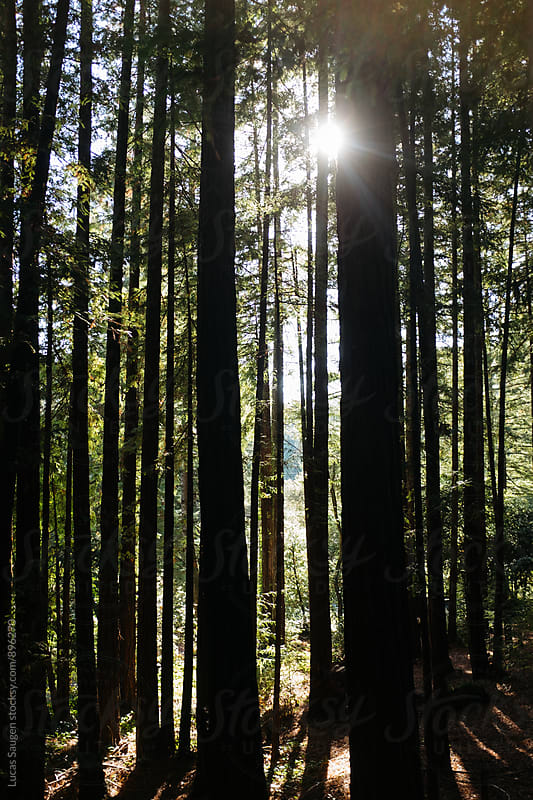 Sun shines through a grove a redwood trees. by Lucas Saugen for Stocksy United