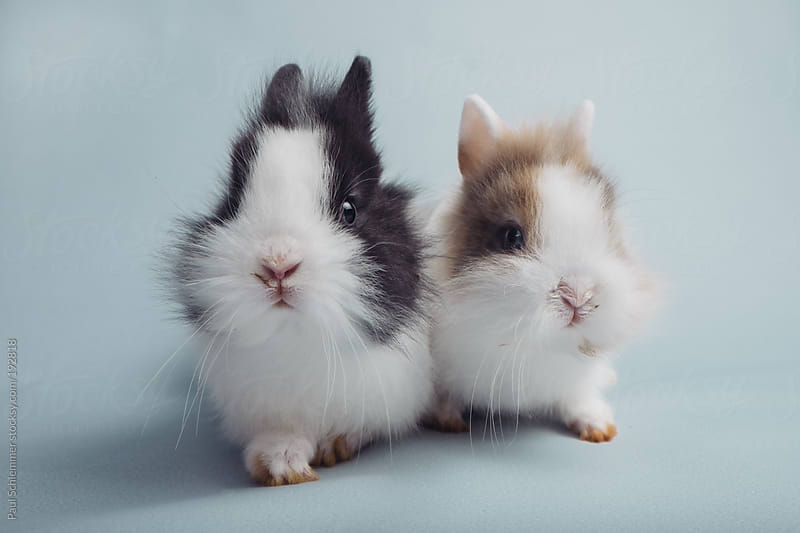 cuteness overload- pair of baby bunnies on light blue seamless by Paul Schlemmer for Stocksy United