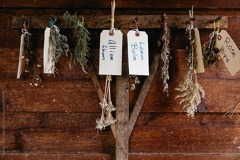 Various dried herbs hung on a wooden rake by Gabriel (Gabi) Bucataru for Stocksy United