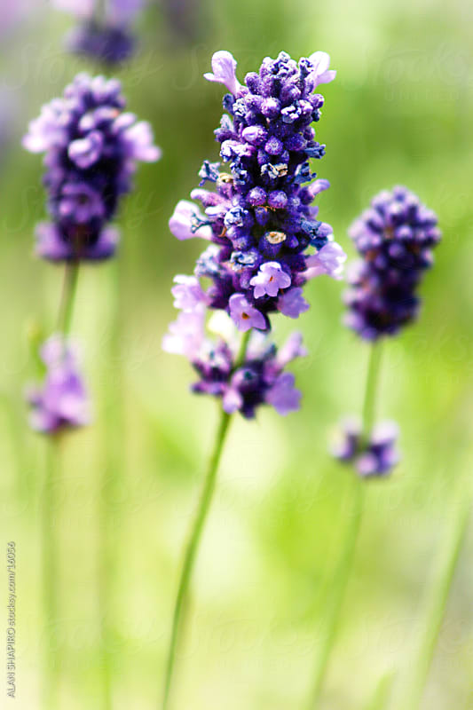 Lavendar by alan shapiro for Stocksy United