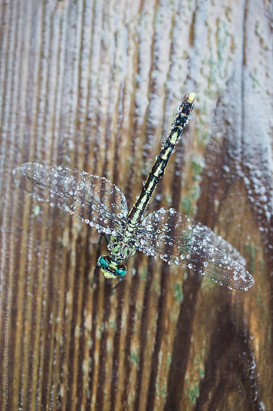 Macro of a Dragonfly on Wood by Marta Locklear for Stocksy United