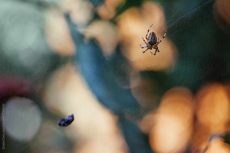 Spider catch a fly on its web by Giada Canu for Stocksy United