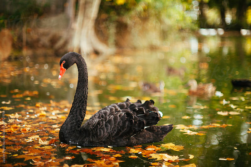 A swan dark on a lake in fall by Javier Pardina for Stocksy United