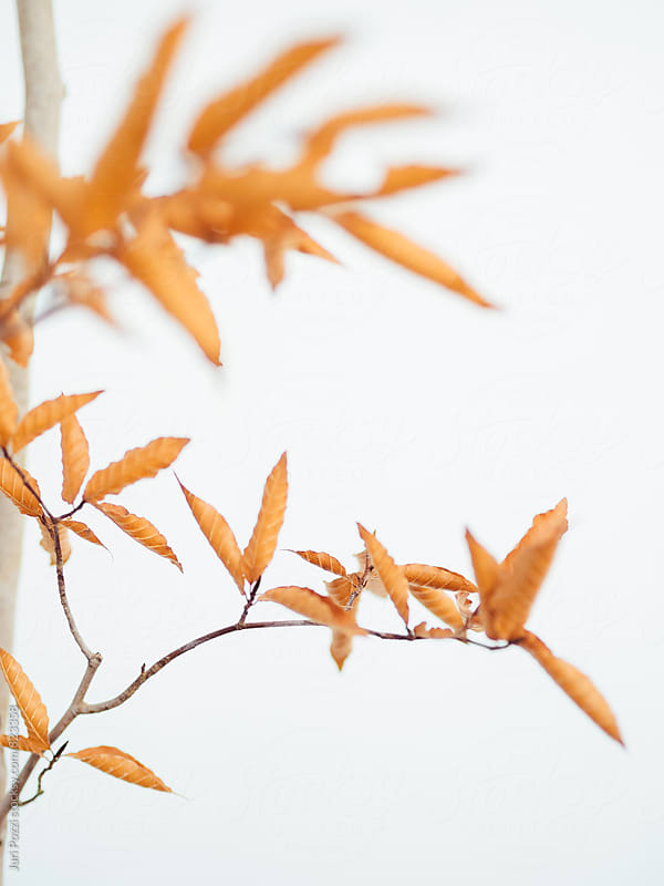 Autumn leaf on white background by Juri Pozzi for Stocksy United