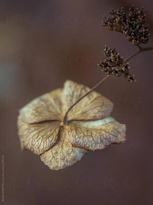 Hydrangea macro by ALAN SHAPIRO for Stocksy United