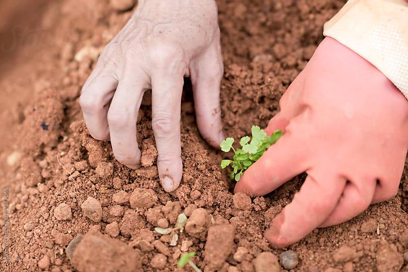 Grandmother planting celery seedlings in soil by Lawren Lu for Stocksy United