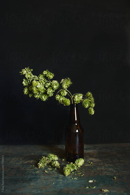 Vertical view of hop plant in plain beer bottle by Tana Teel for Stocksy United