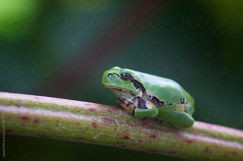 Tree Frog Sitting on a Branch by Jason Hill for Stocksy United
