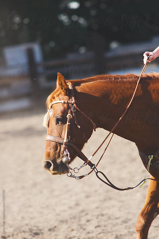 A horse with bridle by Tana Teel for Stocksy United