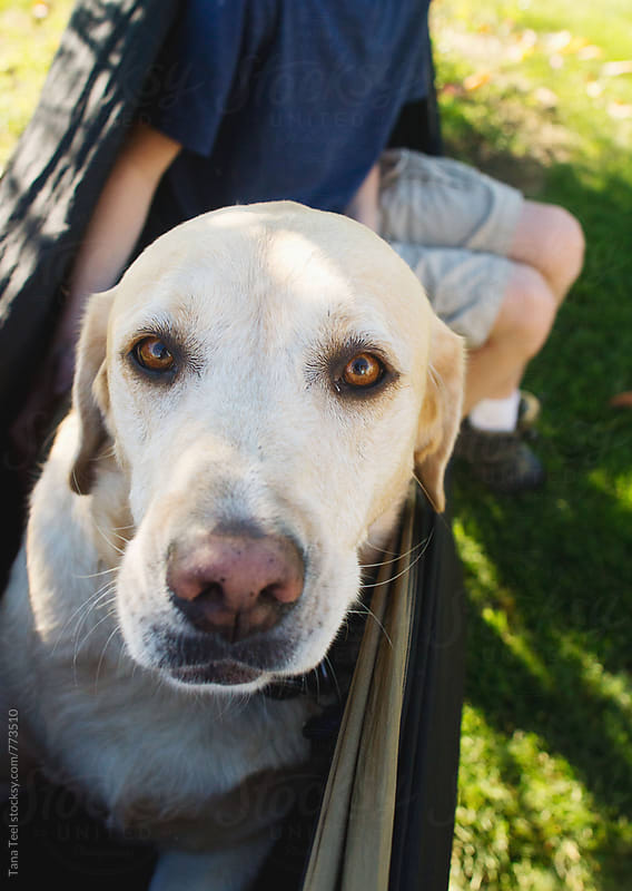 Yellow Labrador laying in hammock looks at camera by Tana Teel for Stocksy United