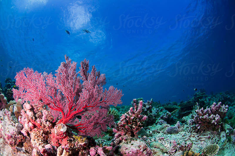Pristine and colourful underwater seascape image of coral by Caine Delacy for Stocksy United