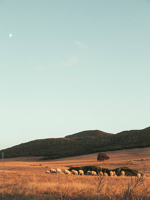 Sheep grazing at sunset by michela ravasio for Stocksy United