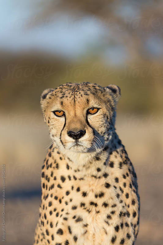 Cheetah (Acinonyx jubatus) - close up looking into camera by Fotografie Daniel Osterkamp for Stocksy United