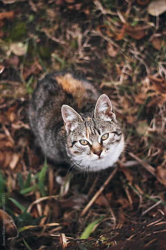 Domestic tiger cat by Jovana Rikalo for Stocksy United