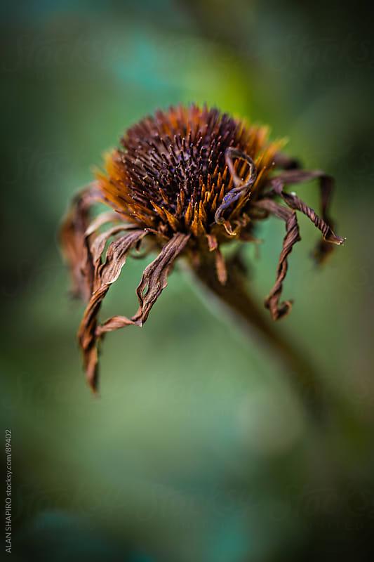 Wilting Echinacea (coneflower) by ALAN SHAPIRO for Stocksy United