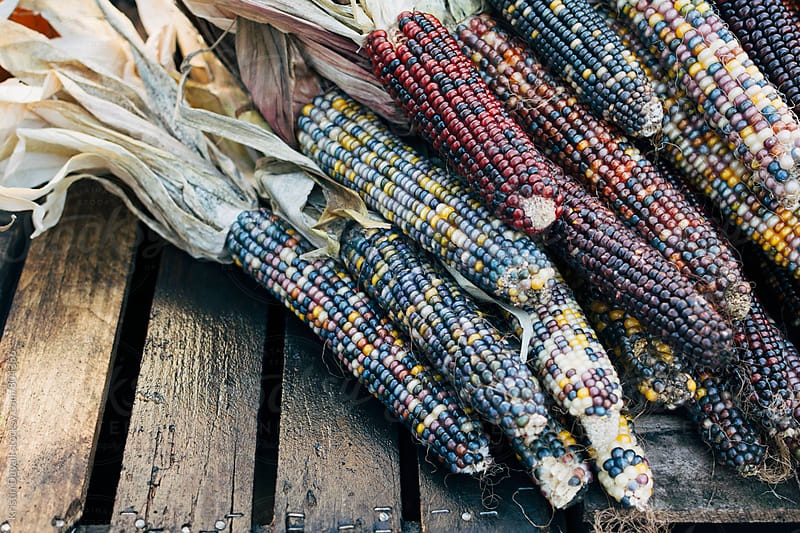 Indian corn stalks by Kristin Duvall for Stocksy United