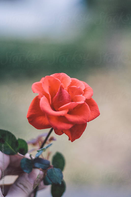 A hand holding red rose by Aleksandra Jankovic for Stocksy United