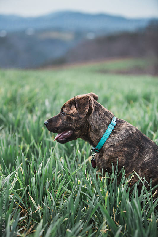 Young puppy dog sitting in grassy field by Matthew Spaulding for Stocksy United