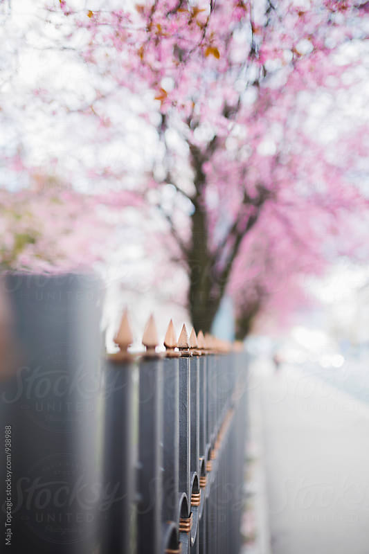 Cherry blossom trees by Maja Topcagic for Stocksy United