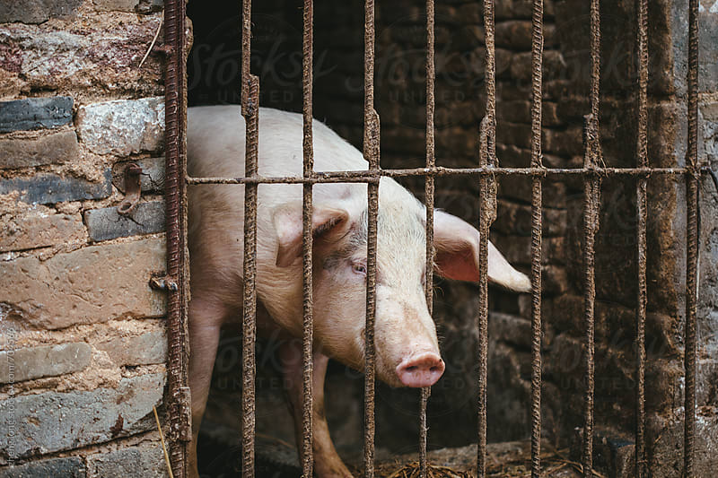 The pigs in the sty in Chinese rural by zheng long for Stocksy United