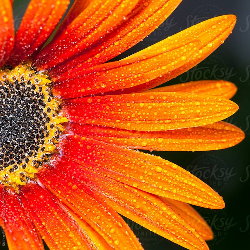 Close up of droplets of water on a flower. by Shikhar Bhattarai for Stocksy United