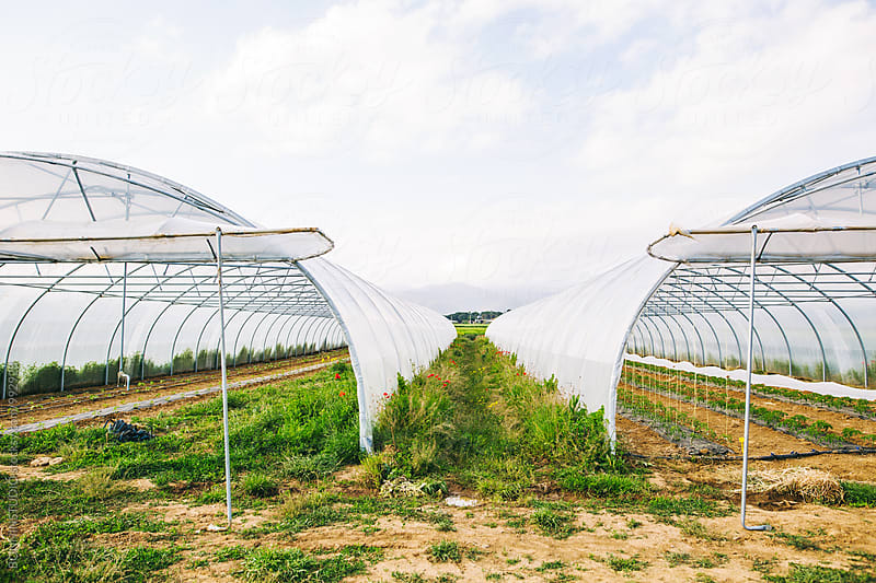 Harvesting in a greenhouse.  by BONNINSTUDIO for Stocksy United