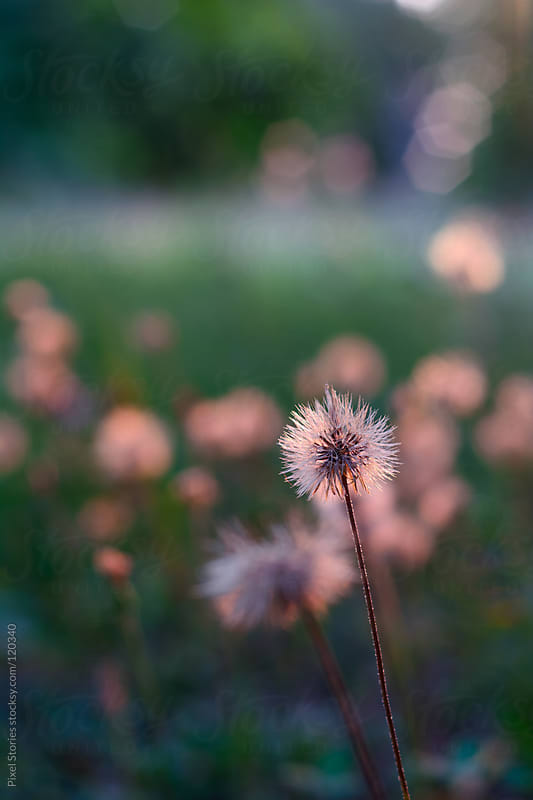 Dandelion field by Pixel Stories for Stocksy United