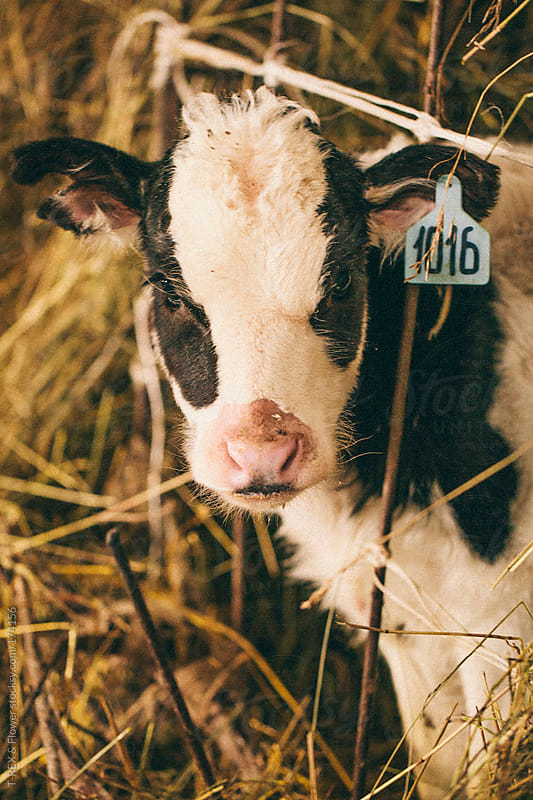 Small calf in the hay by Danil Nevsky for Stocksy United