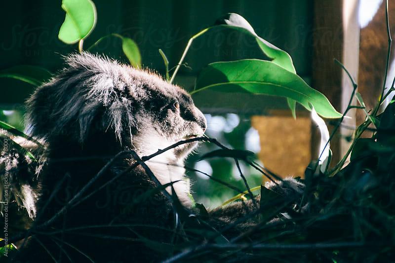 Koala looking to the light of sun by Alejandro Moreno de Carlos for Stocksy United