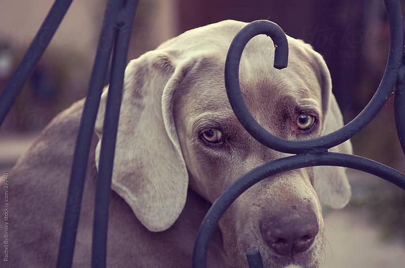 Weimaraner dog looks woefully through gate by Rachel Bellinsky for Stocksy United