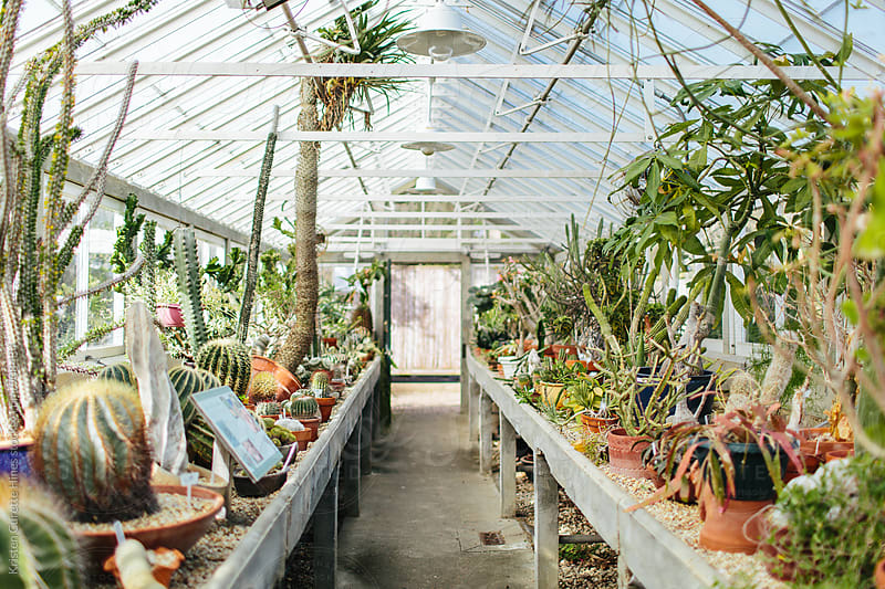 Inside a greenhouse with different plants cactuses  by Kristen Curette Hines for Stocksy United
