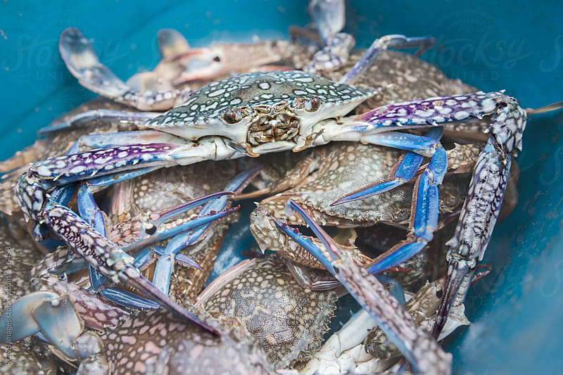 blue crabs by RG&B Images for Stocksy United