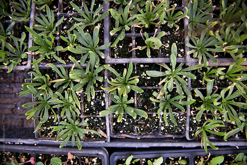 Young vegetable plants growing in trays inside a greenhouse by Cara Slifka for Stocksy United