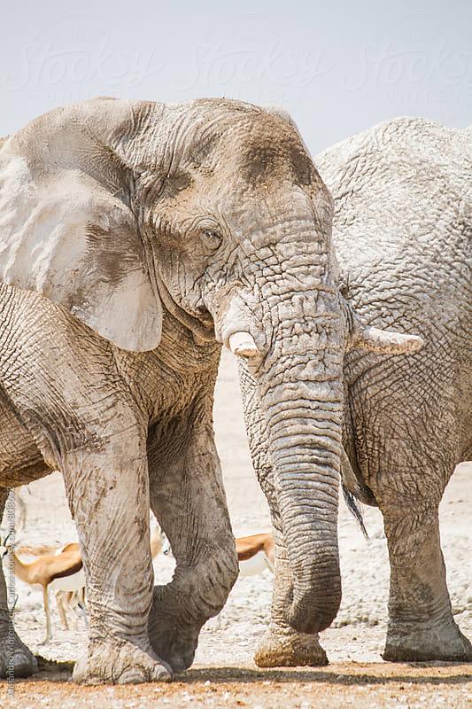 Big aged elephant walking  on a bright day by Alejandro Moreno de Carlos for Stocksy United