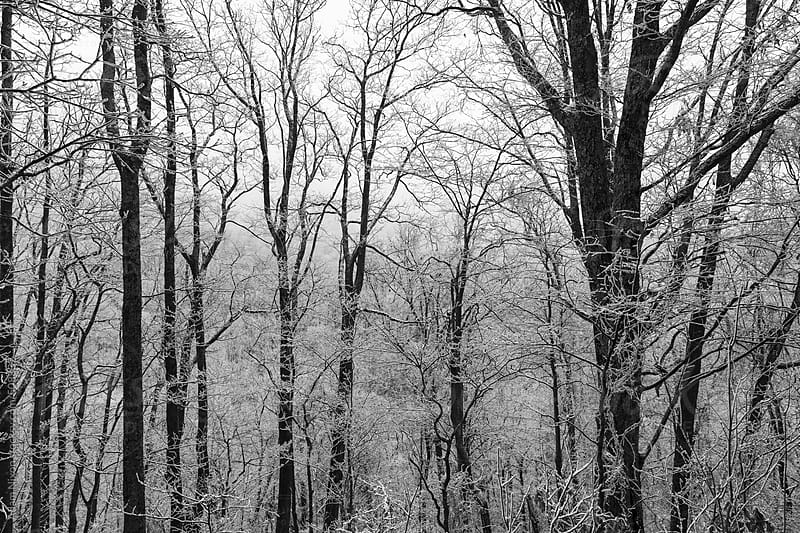 Snow covered trees by Adam Nixon for Stocksy United