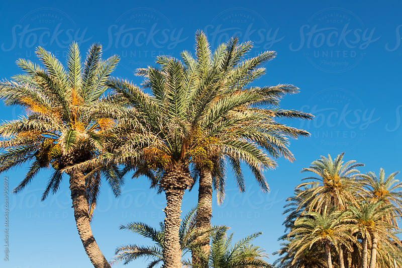 palm trees and blue sky by Sonja Lekovic for Stocksy United