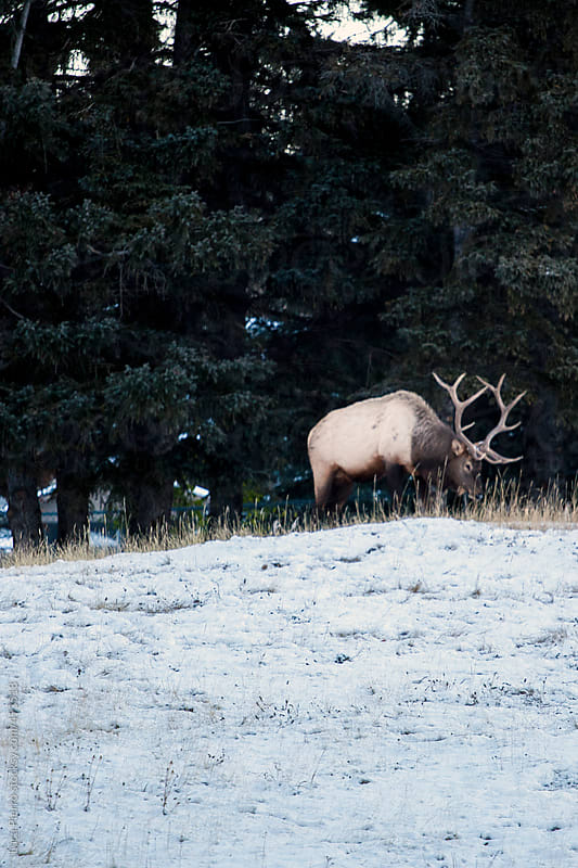 Elk eating in the snow in Banff, Canada by Luca Pierro for Stocksy United
