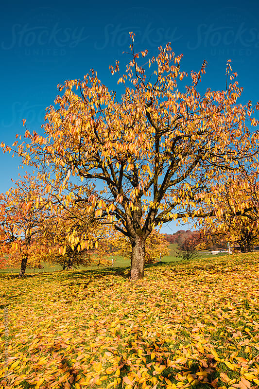 Cherry tree plantage in autumn by Peter Wey for Stocksy United