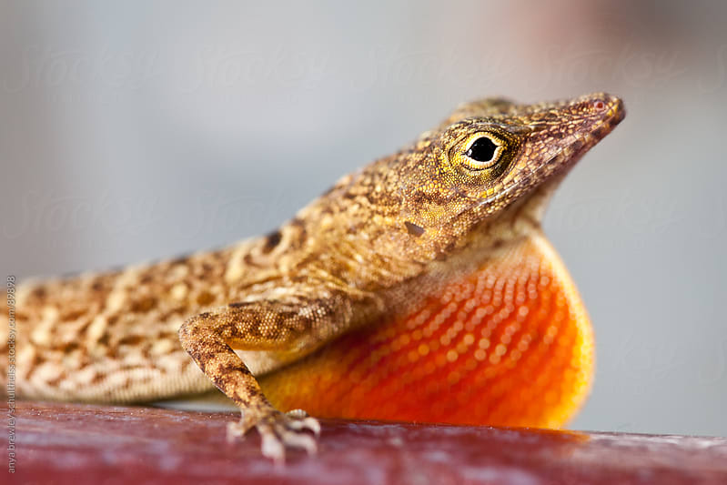 Closeup of lizard with brightly colored red dewlap by anya brewley schultheiss for Stocksy United