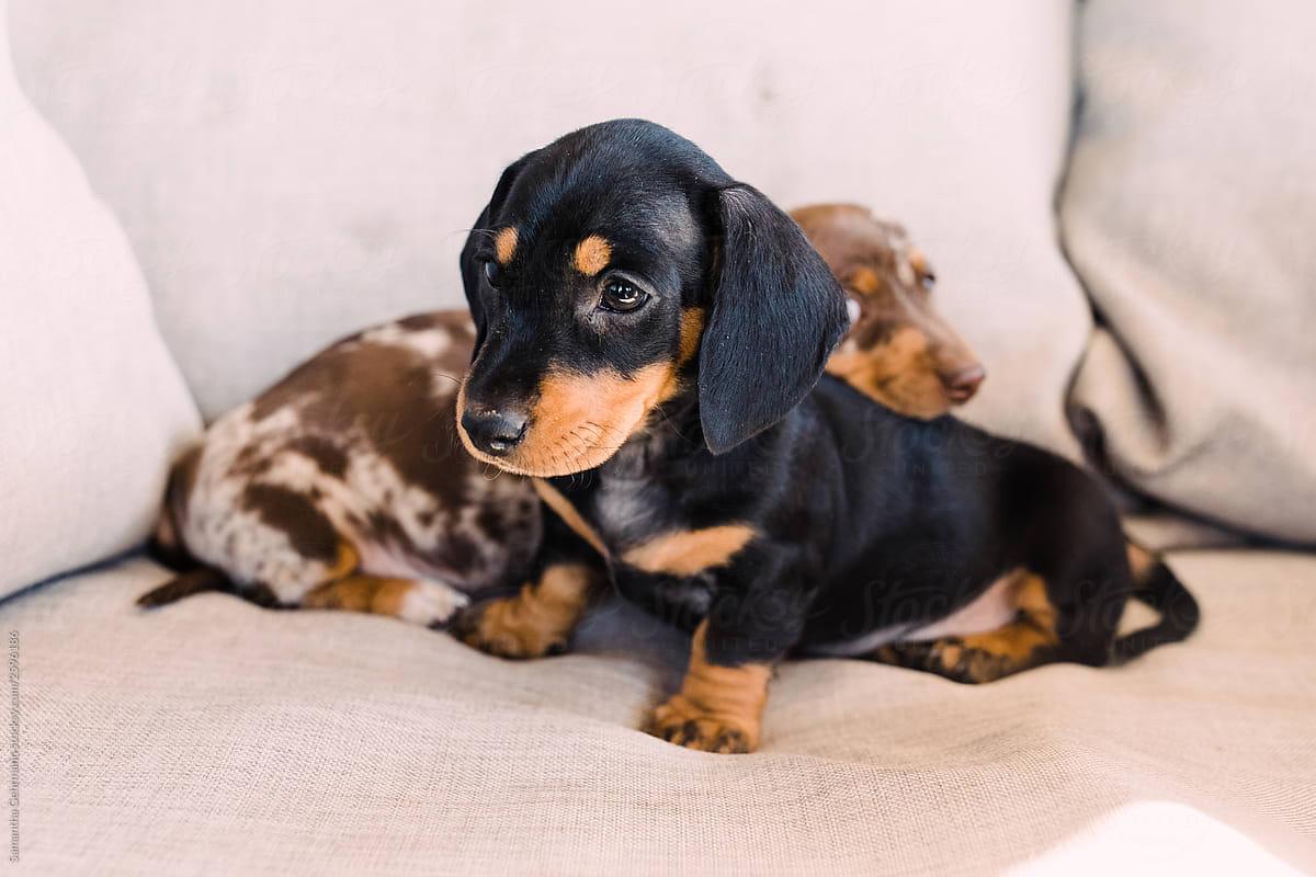 Black And Tan Dachshund Puppy In Front Of A Dappled Puppy By Samantha Gehrmann Stocksy United