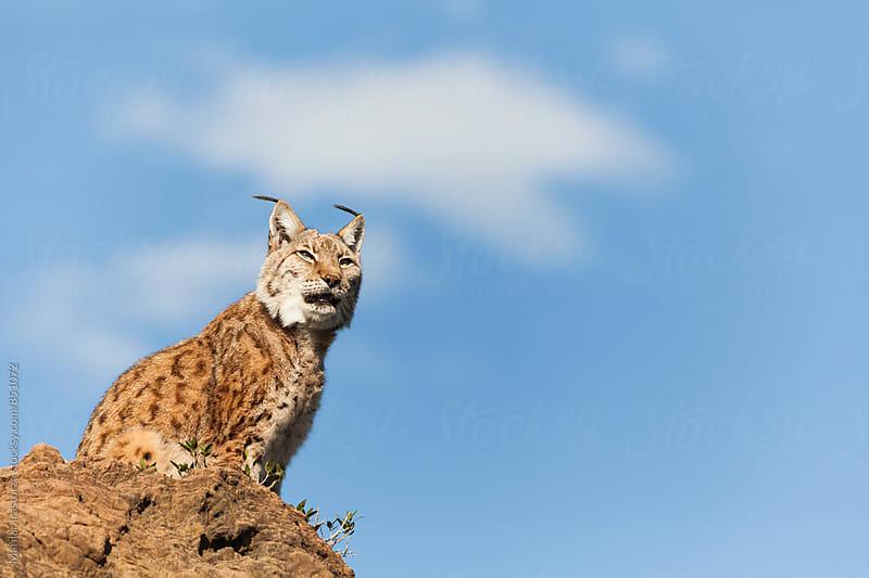 Lynx sitting on a rock against a blue sky by Marilar Irastorza for Stocksy United